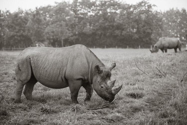Rhinoceroses grazing on field