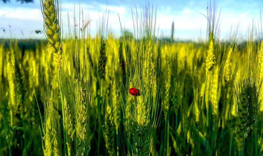 Village Bug Green Day Wheat Close-up Outdoors Plant Nature