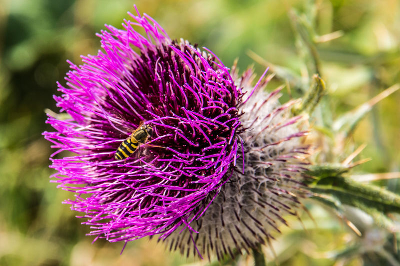 blooming thistle in the mountains, visited by a wasp Animals In The Wild Beauty In Nature Blooming Blossom Close Up Close-up Closeup Day Flower Flower Head Focus On Foreground Fragility Freshness Growth Insect Nature No People Outdoors Petal Plant Purple Sunlight Thistle Thistle Flower Wasp