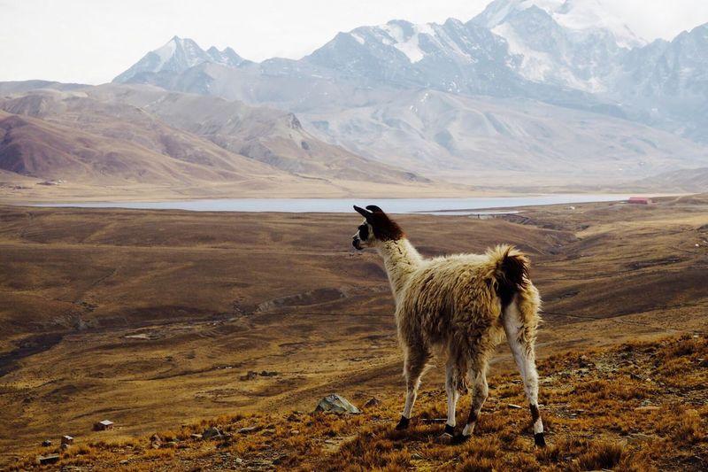 Alpaca standing on landscape