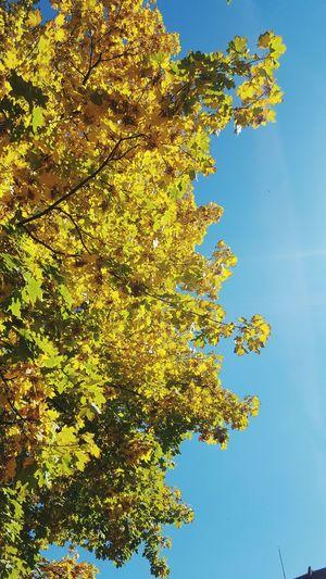 autumn colors Romania Brasov Autumn Leaves Yellow Rugged Tree Blue Textured  Sky Close-up Lush Foliage