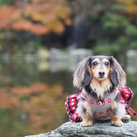 Minituredachshund Dachshund Dogs Of EyeEm Dog Walking お散歩 愛犬 Dog 秋photo Autumn Colors 紅葉