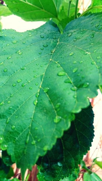 Green Leafs Drops Of Water Drops And Green Relaxing Taking Photos EyeEm Nature Lover Photography Peace Algeria Adrar