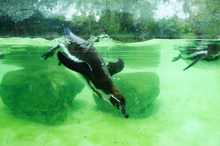 Pinguin Water Underwater Swimming Sea Animal Themes Animals In The Wild Animal Wildlife Animal Nature One Animal Vertebrate UnderSea Green Color Day Reptile Sport Full Length Adventure One Person Marine