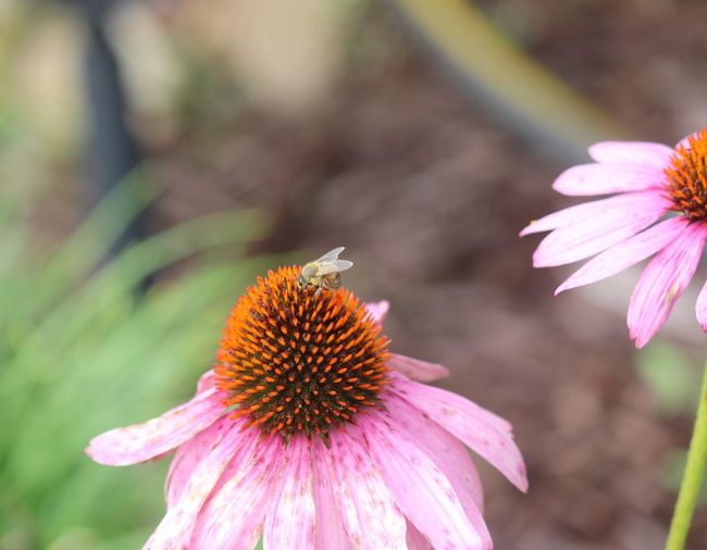 Non post processed, bees, flowers, Check This Out Hello World Relaxing Enjoying Life Flowers,Plants & Garden Backyard Photo One Of My Favorite Things Hello World EyeEm Nature Lover Bluffton Sc, Open Edit For Everyone