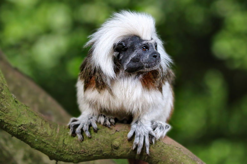 Cotton Top Tamarin Animal Hair Animal Themes Beauty In Nature Close-up Day Focus On Foreground Mammal Nature No People Outdoors Portrait Selective Focus Wildlife Young Animal
