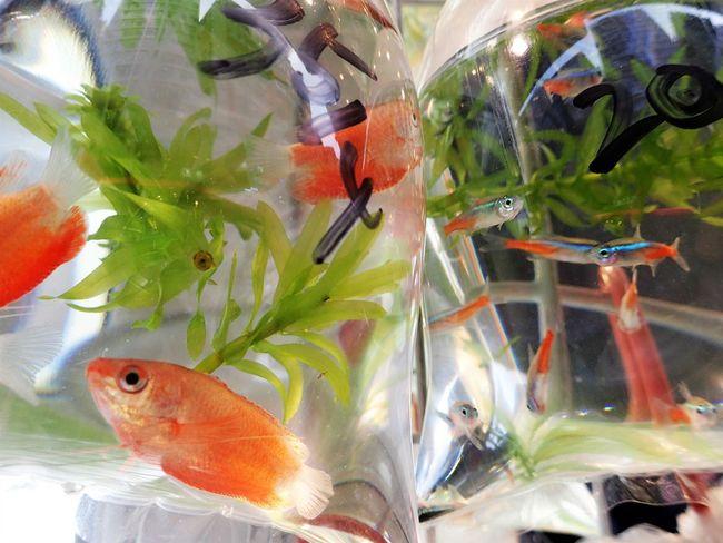 Gold Fish Pet Shop  Fishes For Sale Mongkok Hong Kong Tetra Fish Neon Tetra Pets Pet Corner Fish Pets Aquarium Fish Animal Themes Perspectives On Nature