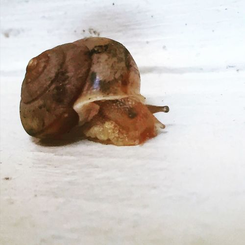 Snail Caracol