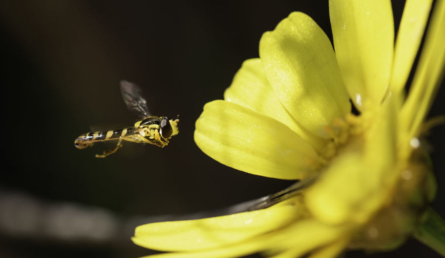 Close-up of honey bee by yellow flower