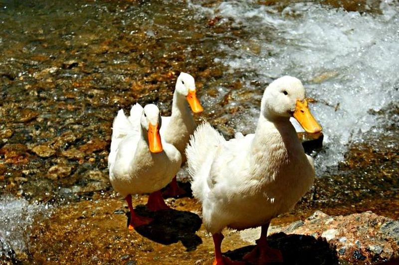 Ducks Animals Cute Water Turkey Taking Photos Enjoying Life Beautiful
