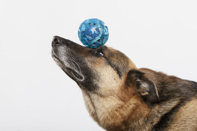 Alsatian Dog Acrobatics  Animal Body Part Animal Head  Animal Themes Balance Ball Canine Close-up Dog Domestic Domestic Animals Furry Dog German Dog German Shepherd Mammal One Animal Pet Pets Purebred Dog Sheep Dog Sheep Dogs Snout Snow Trained Dog