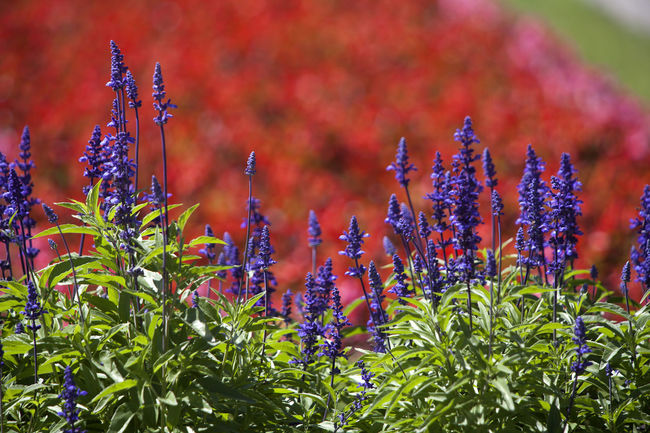 Beauty In Nature Close-up Day Flower Flower Head Fragility Freshness Growth Nature No People Outdoors Plant Salvia Flowers