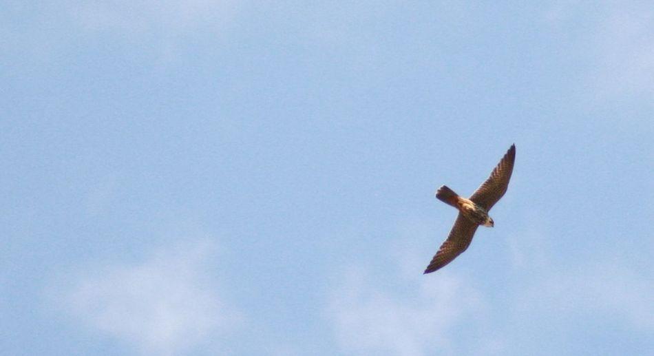 Beauty In Nature Bird Of Prey Bird Photography Day Falcon Flying Hobby Falco Subbuteo Nature No People Outdoors Soaring Birds Spread Wings