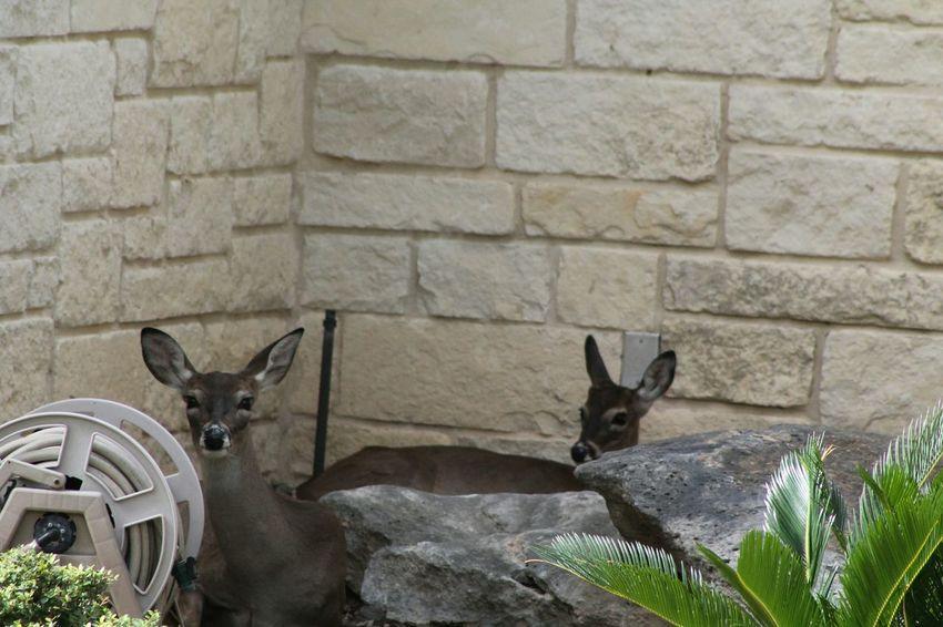 Deer Fawn Doe Nature Photography