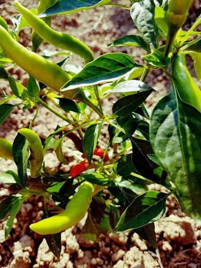 Growth Plant Leaf Green Color Close-up No People Fragility Outdoors Day Hot Peppers Plants
