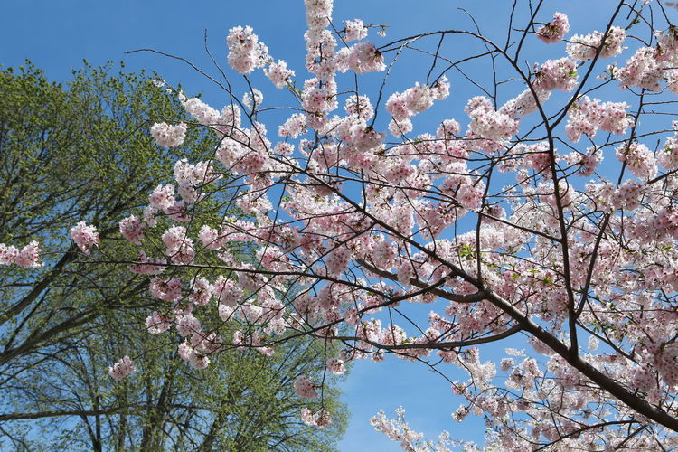 Apple Blossom Beauty In Nature Blossom Botany Branch Cherry Blossom Cherry Tree Day Flower Fragility Freshness Growth Low Angle View Magnolia Nature No People Orchard Outdoors Petal Pink Color Sky Spring Springtime Tree White Color EyeEm Ready   EyeEmNewHere