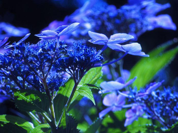 Hydrangea Nature Sunlight Blue Close-up Flower Flower Head Flowering Plant Nature No People Outdoors Petal Plant Purple