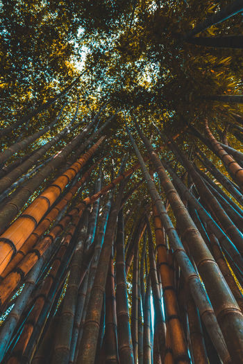 Low Angle View Of Bamboo Trees