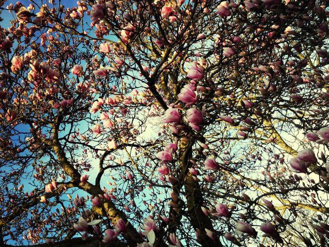Magnolia MagnoliaTree