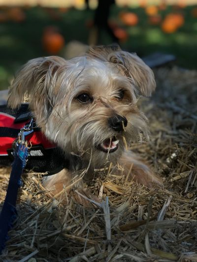 Dog Morkie Outdoors Animal Themes Close-up Portrait 🐶🎃🌾