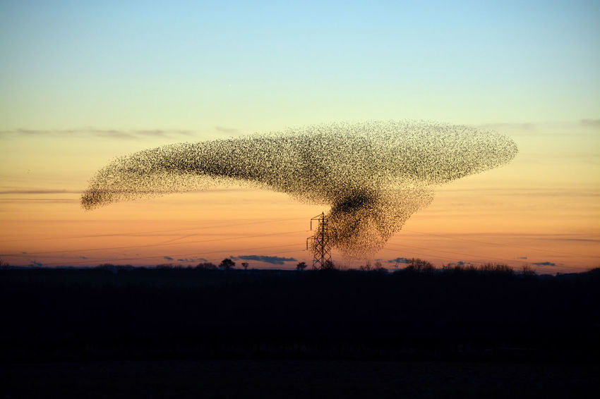 Murmur Murmuration Of Starlings Beauty In Nature Clear Sky Motion Murmuration Murmurations Murmuring Nature Scenics Sky Starling Starling Bird Starlings Starlings Putting Up A Show Sunset