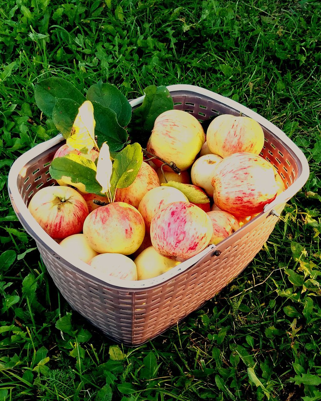 HIGH ANGLE VIEW OF FRESH FRUITS IN BASKET ON FIELD