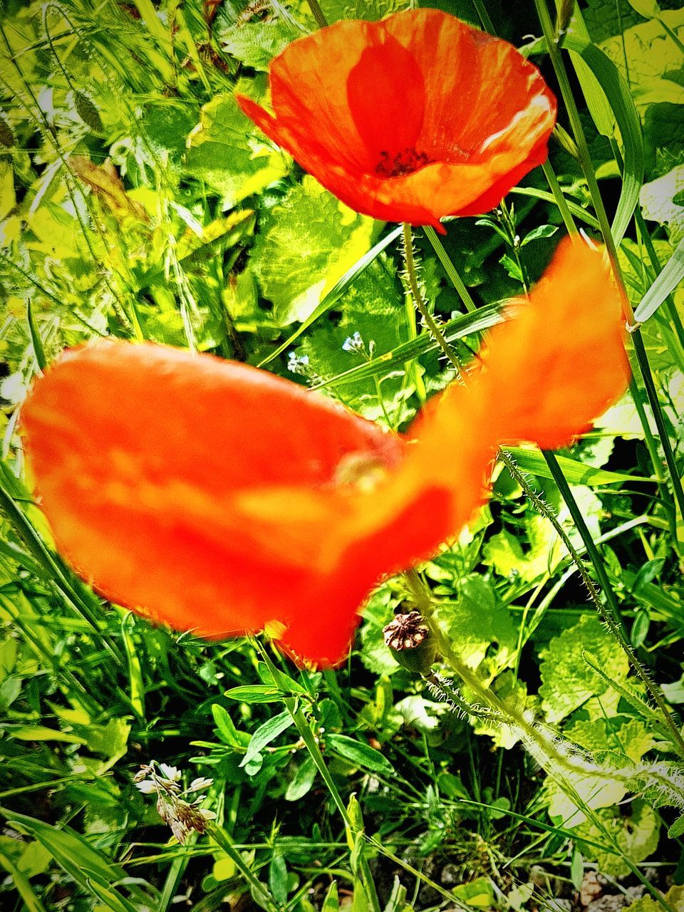 growth, orange color, nature, plant, beauty in nature, red, freshness, green color, no people, flower, field, petal, leaf, outdoors, close-up, poppy, fragility, flower head, day, blooming, grass