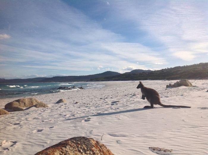 Animal Themes Beach Day Holiday Kangeroo Nature No People One Animal Outdoors Sea Sky Sunshine ☀ Wave Wildlife Friendly Beaches Tasmania EyeEmNewHere