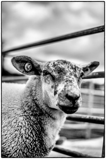 An agricultural show in Swinford, Ireland Agriculture Farm Life Ireland Livestock Blackandwhite Close-up Mammal Nature One Animal Sheep
