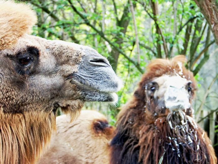Mammal Animal Themes Animal Group Of Animals Animal Body Part Animal Head  Two Animals No People Day Camel Portrait Animal Family Outdoors Odd Couple Close-up Nature