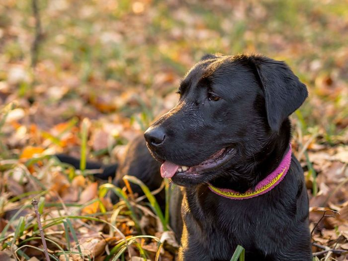 Close-Up Of Black Dog Relaxing On Field