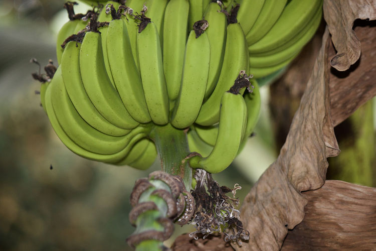 Agriculture Banana Banana Banana Tree Beauty In Nature Bunch Day Dry Leaves Focus On Foreground Food Freshness Fruit Green Bananas Green Color Growth Healthy Eating Natural Nature Organic Outdoors Plant Tree Young From Backyard Ayarkkunnam