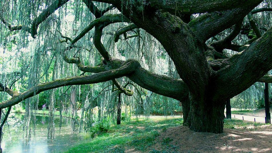 Tree Cedre Nature Blue Cedar Of Atlas Arboretum