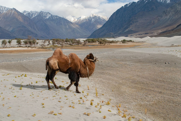 Bactrian camel in Nubra Valley Bactrian Camel Desert Himalayas India Kashmir Ladakh Nubra Silk Road Animal Themes Camel Caravan Desert Domestic Animals Jammu And Kashmir Landscape Mountain No People Nubra Valley One Animal Outdoors Sand Scenics