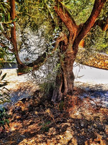 Spain♥ Olive Tree Collection Olive Tree Foliage Comes Alive Andalucía Karen Grace