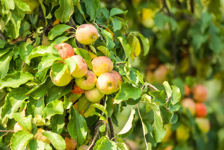Close-up of apples growing on tree