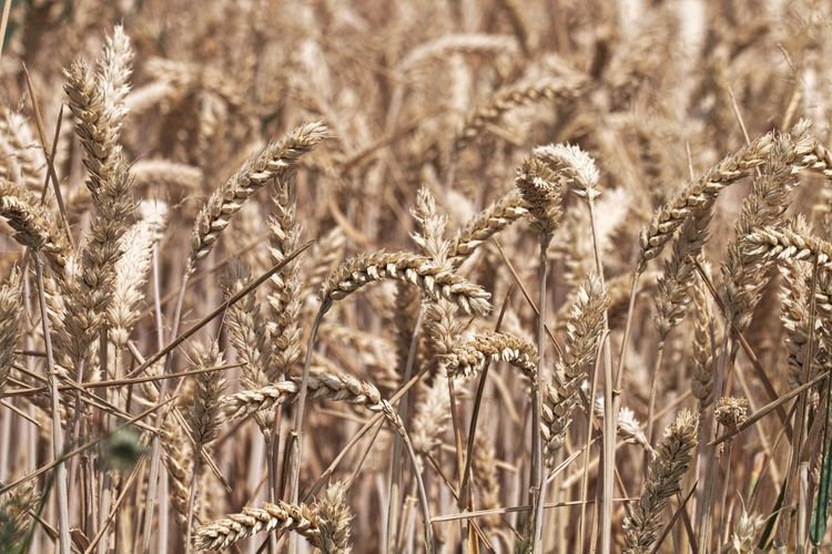 Agriculture Crop  Plant Cereal Plant Growth Field Rural Scene Land Nature Selective Focus Focus On Foreground Beauty In Nature Close-up Beautiful Nature Natural Beauty Nature Collection Nature Photography Nature Lovers Nature Is Art Nature Is My Sanctuary 🌳💚 Nature Is My Best Friend EyeEm Gallery Eye4photography  Eye4nature EyeEm Nature Lover Scenics - Nature Walking Around Taking Pictures