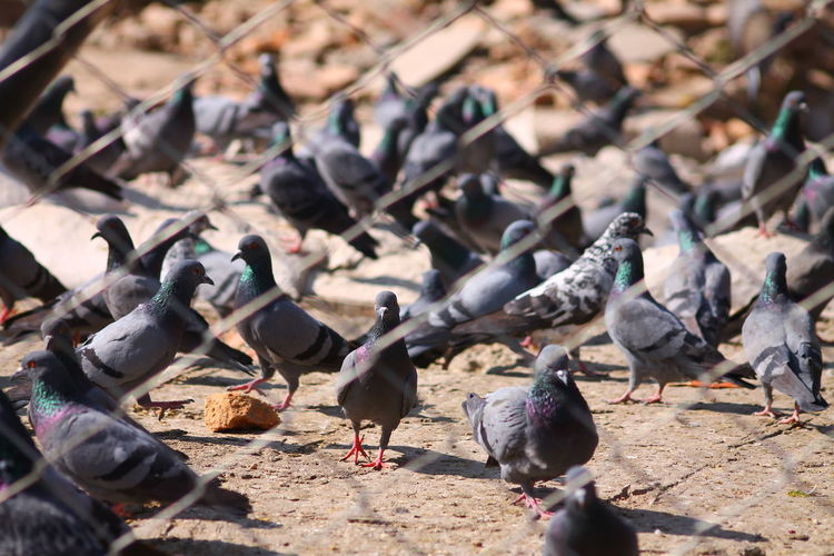 Large Group Of Pigeons Crowded Birds Bird Sunlight Animals In The Wild Animal Themes Day Outdoors No People Purist In Photography Purist No Edit No Filter Mesh Wire Fence Pigeons Behind Mesh Wire Fence Backgrounds Pattern, Texture, Shape And Form
