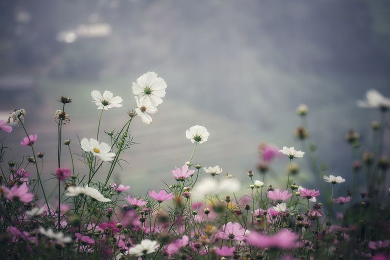 Cosmos Flower Flower Flowering Plant Plant Beauty In Nature Freshness Vulnerability  Growth Day Nature