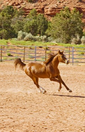 The gallop Runningwild Horse Love Ranch Life Animal Themes Rural Scene Ranch Horse Domestic Animals Livestock Motion Blur Western USA Corral Outdoors Mare Animal Galloping Horses Utah Southern Utah  Chestnut Horse Brown Horse Running Horse