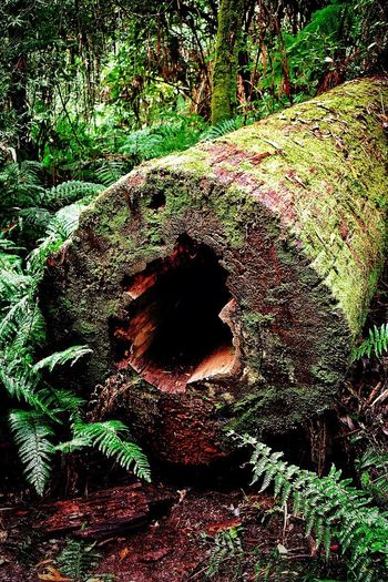 Forest Tree Nature No People Day Outdoors WoodLand Green Color Growth Tree Trunk Beauty In Nature