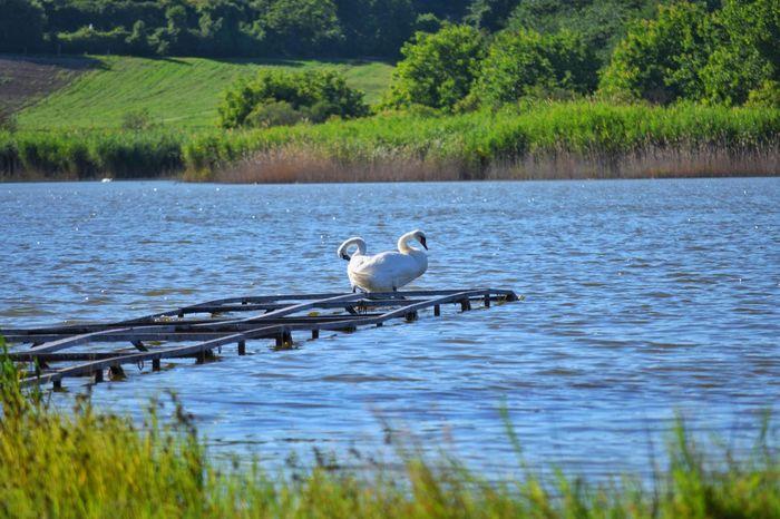 Swan Nature Animal Bird Water Tree Lake