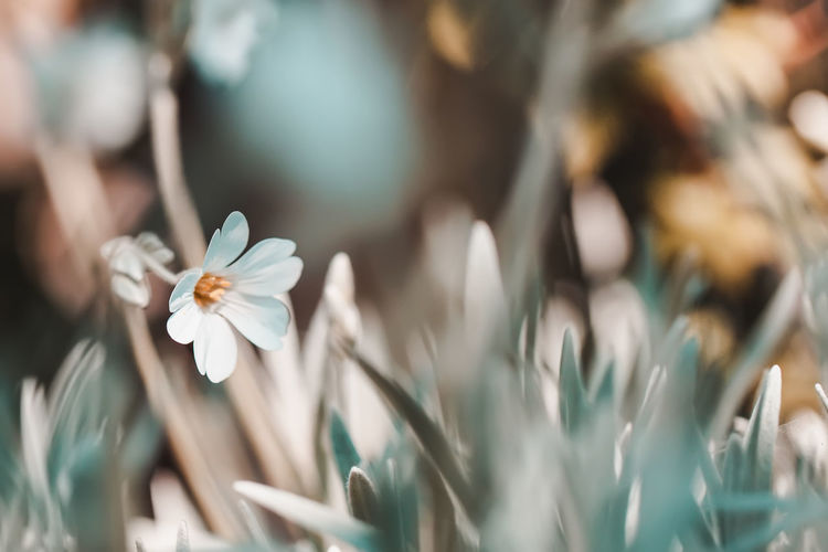 Abstract vintage spring floral blurred background, natural first flowers primroses in grass Pollen Outdoors Botany No People Nature Close-up Flower Head Flowering Plant Flower Petal Beauty In Nature Plant Selective Focus White Color Primrose Vintage Springtime Spring Grass Retro Romantic Romance First