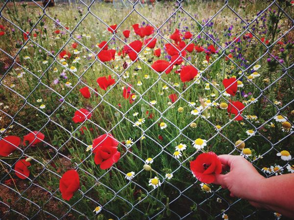 Adults Only Adult Human Hand Red Human Body Part One Person Real People Private Hand Metallic Fence Contrast Springtime Safety Locked Security Poppy Flowers Body Part Lifestyles Close-up Grass Flower Nature Freshness People Adults Only The Great Outdoors - 2017 EyeEm Awards