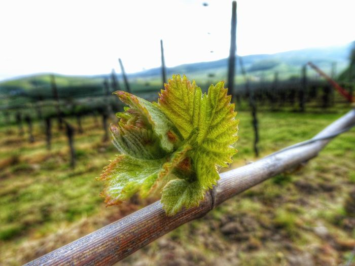 Beginnings of the Saison 2016 🍷🍇 Wein Trauben Wine Grave Showcase April Taking Photos Nature On Your Doorstep Eyem Gallery I LOVE PHOTOGRAPHY Nature Nature_collection