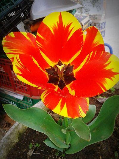 Strange Flowers Tulips🌷 Tulipporn EyeEm Nature Lover Showcase: April 2016 Macro Beauty EyeEm Best Shots EyeEmbestshots Macro_collection Abril 2016