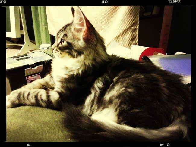 Cat Maine Coon My Kitties