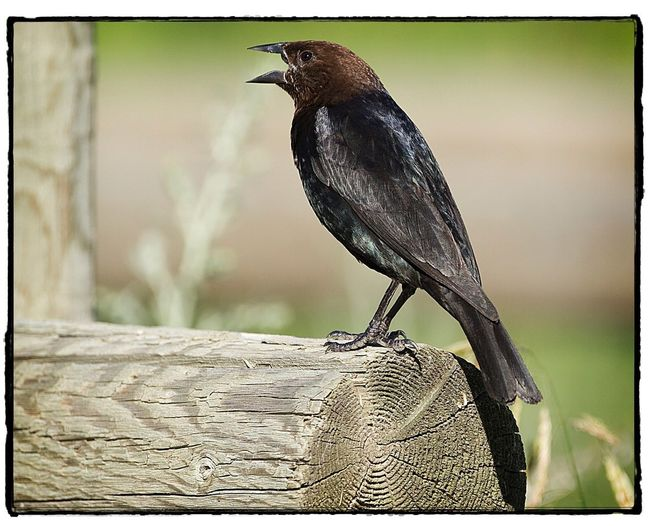 Brown-headed Cowbird. Brown-headed Cowbird Bird Vertebrate Close-up Outdoors Perching