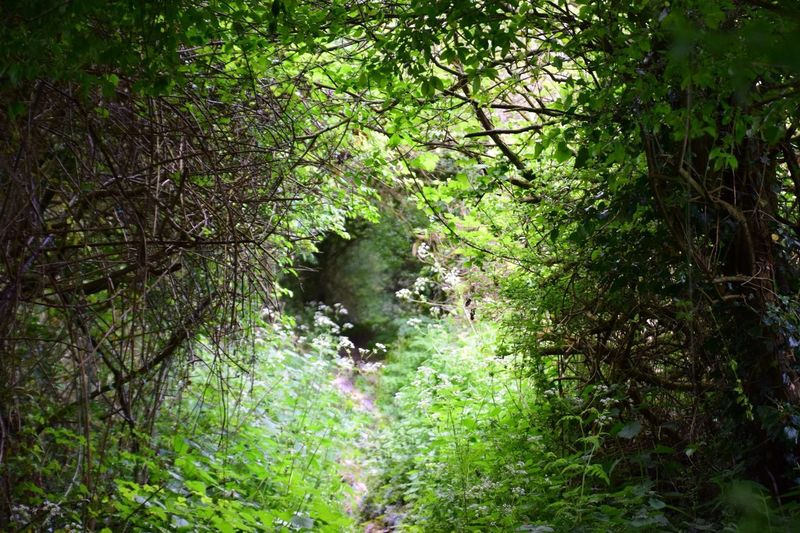 Lost Footpath Overtaken By Nature Farm Tracks Blossom Tree Cow Parsley Lost In Nature Farm Tracks Plant Growth Tree Day Green Color Nature No People Land Beauty In Nature Outdoors Lush Foliage Foliage Flower Branch