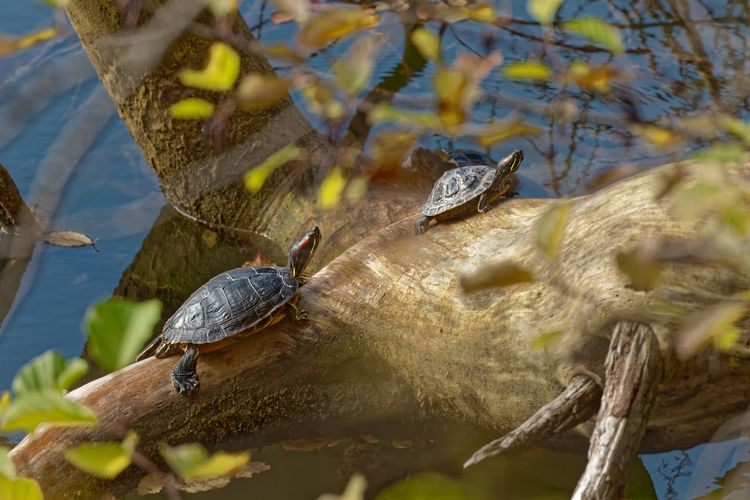 Lizard in a lake